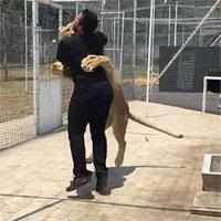 Video: Người đàn ông bị sư tử vồ ngã và diễn biến kinh ngạc phía sau