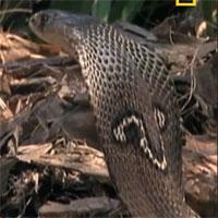 Video: Phát hiện kỳ đà ăn hết tổ trứng của mình, rắn hổ mang lao vào tấn công điên cuồng