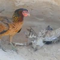 Video: Diều hâu sà xuống tấn công gà con liền bị gà mẹ đánh cho túi bụi, kết quả sẽ ra sao?