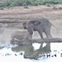 Kinh hãi cảnh voi điên lao đến húc văng tê giác vì lý do bất ngờ