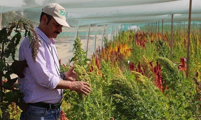 Cây diêm mạch trồng trên sa mạc Dubai.