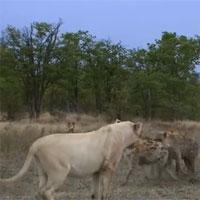 Video: Bị vây đánh, sư tử làm động tác lạ khiến 13 linh cẩu khiếp sợ
