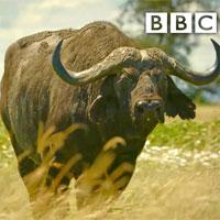 Video: Đàn sư tử săn trâu rừng, ngờ đâu vỡ trận phải trốn chui trốn lủi