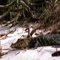 """Video: Trêu chọc """"sát thủ đầm lầy"""", báo đốm nhận cái kết đau đớn"""