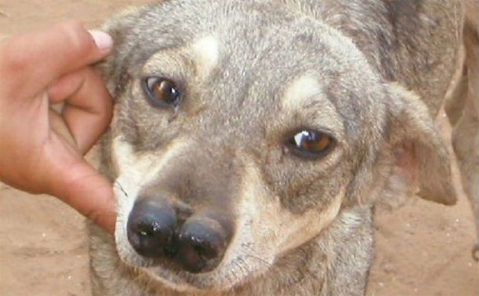 Giống chó có 2 mũi vô cùng quý hiểm sở hữu khứu giác vượt trội