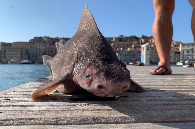 Con cá mập kỳ dị có gương mặt lợn.