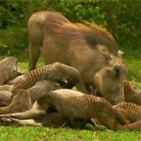 Video: Lợn bướu bất ngờ phản công đuổi đánh sư tử