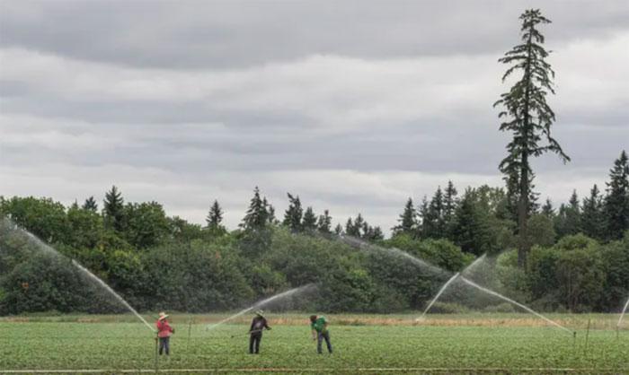 Những người lao động làm việc tại trang trại St. Paul, Oregon, trong một đợt nắng nóng.
