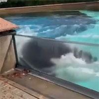 Cá voi sát thủ đập đầu vào bể sau 10 năm cô độc
