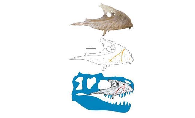 Những vết sẹo của khủng long bạo chúa thường là vết sẹo dài, chạy dọc theo bề rộng của hàm