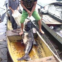 """Ngư dân bắt """"thủy quái"""" siêu to khổng lồ ở hồ Tuyên Quang"""