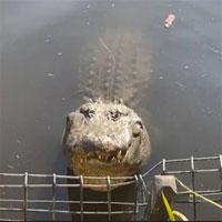 Đàn cá sấu gọi tranh nhau gọi bạn tình, náo loạn cả công viên Australia