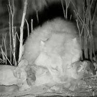 """Video: Linh cẩu bỏ mạng khi cố gắng cướp mồi của """"lãnh chúa vùng đồng cỏ"""""""