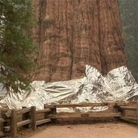 Bọc màng nhôm cứu cây lớn nhất thế giới khỏi 'giặc lửa'
