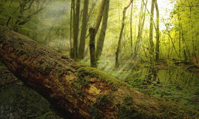 Cây chết đổ trong một khu rừng.