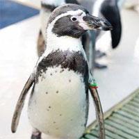 Chim cánh cụt già nhất thế giới qua đời vì tuổi cao sức yếu
