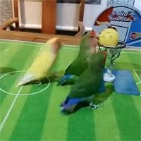 """Video: Cảnh tượng hài hước khi những chú vẹt chơi bóng rổ """"chuyên nghiệp"""" như vận động viên"""