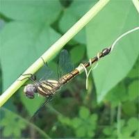 Chuyện khó tin nhưng có thật: Chuồn chuồn ngủ say, bị xúc tu dây leo khổ qua cuốn chặt vào đuôi