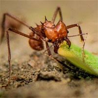 Bộ hàm đáng kinh ngạc của những con kiến ăn cỏ