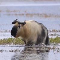 Video: Cảnh quay hiếm về sinh vật nửa giống trâu nửa giống cừu