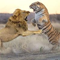 Video: Hổ và sư tử quyết chiến ác liệt