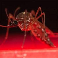 Australia phát minh phương pháp tiêu diệt muỗi vằn đột phá
