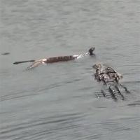 """Video: Cận cảnh cá sấu """"xơi tái"""" rắn độc khổng lồ"""