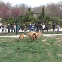 Video: Sư tử đực trẻ dũng cảm đối đầu bầy sư tử lớn để bảo vệ hai người bạn của mình