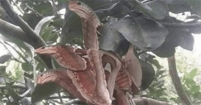 """Hết hồn vì thấy """"3 con rắn hổ mang"""" đang rình rập trên cây, hóa ra đó lại là sinh vật rất hiếm có"""