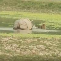 """Video: Đang ngâm mình thư giãn, hổ giật mình chạy """"thục mạng"""" vì phát hiện kẻ thù lừng lững này"""