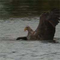 Lý do gì khiến đại bàng lao như mũi tên xuống nước để bắt cá nhưng lại không thể cất cánh bay lên?