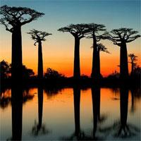 Khám phá đại lộ nổi tiếng với loài cây khổng lồ có thể sống tới 3000 tuổi