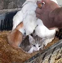 """Thấy mèo mẹ kiệt sức, tử vong sau sinh, gà mái """"ấp"""" hộ đàn con khiến dư dân mạng cảm động"""