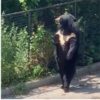 """Video: Chú gấu đen hờ hững, dạo bước đi bằng 2 chân """"ngắm cảnh"""" khiến dân mạng phát sốt"""