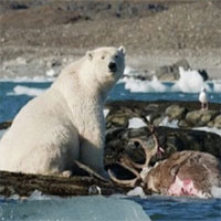 Lần đầu tiên ghi hình gấu Bắc Cực truy sát tuần lộc