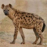 Tại sao linh cẩu đốm cái lại có bộ phận sinh dục của con đực? Liệu nó có phải là loài lưỡng tính không?