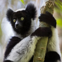 Loài vượn cáo ở quốc đảo Madagascar có thể hát We Will Rock You